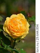 Купить «Роза флорибунда Абсолютлей Фабулос (Absolutly Fabulous), Harkness Roses, 2004», эксклюзивное фото № 29644894, снято 19 июля 2015 г. (c) lana1501 / Фотобанк Лори