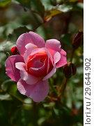 Купить «Роза кустарниковая При П.Ж.Редутэ (Prix P.J. Redoute), Франция (Guillot, Massad), 2009», эксклюзивное фото № 29644902, снято 19 июля 2015 г. (c) lana1501 / Фотобанк Лори