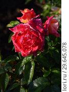 Купить «Роза чайно-гибридная Архангел (Арк Ангел), (Arc Angel), Fryer's Roses, 1996», эксклюзивное фото № 29645078, снято 13 июля 2015 г. (c) lana1501 / Фотобанк Лори