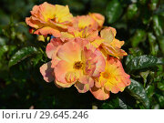 Купить «Роза флорибунда Тинейшес (Тинейшэс) (лат. Tenacious), McGredy, Новая Зеландия, 2002», эксклюзивное фото № 29645246, снято 27 июля 2015 г. (c) lana1501 / Фотобанк Лори