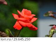 Роза чайно-гибридная Бьюти Стар (Rosa Beauty Star), Fryer's Roses, 1990. Стоковое фото, фотограф lana1501 / Фотобанк Лори