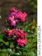 Купить «Роза флорибунда Вайлд Ровер (лат. Wild Rover), Dickson Ирландия, 2007», эксклюзивное фото № 29645254, снято 27 июля 2015 г. (c) lana1501 / Фотобанк Лори