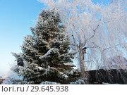 Купить «Пихта и береза на участке зимой», эксклюзивное фото № 29645938, снято 16 декабря 2018 г. (c) Анатолий Матвейчук / Фотобанк Лори