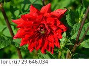 Купить «Георгина декоративная Ред Сан (лат. Red Sun)», эксклюзивное фото № 29646034, снято 27 июля 2015 г. (c) lana1501 / Фотобанк Лори