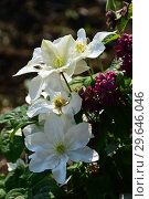 Клематис крупноцветковый Роко-Колла (лат. Roko-Kolla) Стоковое фото, фотограф lana1501 / Фотобанк Лори