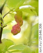 Купить «Плод магнолии кобус (Magnolia kobus DC. )», фото № 29646306, снято 21 сентября 2014 г. (c) Ирина Борсученко / Фотобанк Лори