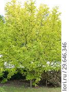 Купить «Магнолия кобус (Magnolia kobus DC.), осенний вид», фото № 29646346, снято 21 сентября 2014 г. (c) Ирина Борсученко / Фотобанк Лори