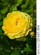 Роза флорибунда Голден Смайлс (Rosa Golden Smiles), Fryer Roses, Англия, 2006. Стоковое фото, фотограф lana1501 / Фотобанк Лори