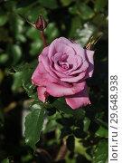 Купить «Роза чайно-гибридная Муди Блю (Rosa Moody Blue), Fryers Roses, Великобритания 2008», эксклюзивное фото № 29648938, снято 8 сентября 2014 г. (c) lana1501 / Фотобанк Лори