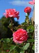 Купить «Роза чайно-гибридная Артур Рембо (лат. Rosa Arthur Rimbaud), Meilland International, France 2008», эксклюзивное фото № 29648942, снято 21 июля 2015 г. (c) lana1501 / Фотобанк Лори