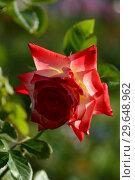 Купить «Роза чайно-гибридная Императрис Фарах (Императрица Фара) (Rosa Imperatrice Farah, delivour), Delbard France, 1992», эксклюзивное фото № 29648962, снято 21 июля 2015 г. (c) lana1501 / Фотобанк Лори