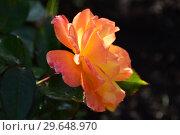 Купить «Роза флорибунда Солей дю Монд (Soleil du Monde, delseb), Delbard France, 2007», эксклюзивное фото № 29648970, снято 21 июля 2015 г. (c) lana1501 / Фотобанк Лори