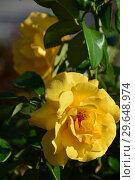 Купить «Цветок чайно-гибридной розы Кип Смайлинг (лат. Rosa Keep Smiling), Fryer's Roses, Англия, 2004», эксклюзивное фото № 29648974, снято 21 июля 2015 г. (c) lana1501 / Фотобанк Лори