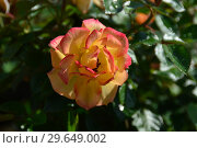 Купить «Роза кустарниковая Мериголд Свит Дрим (лат. Rosa Marigold Sweet Dream), Fryer's Roses, Великобритания 2010», эксклюзивное фото № 29649002, снято 21 июля 2015 г. (c) lana1501 / Фотобанк Лори