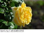Купить «Роза чайно-гибридная Квебек (лат. Quebec). Jean-Marie Gaujard. Laperriere, Франция, 1942», эксклюзивное фото № 29649010, снято 21 июля 2015 г. (c) lana1501 / Фотобанк Лори