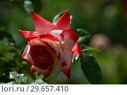 Купить «Роза чайно-гибридная Императрис Фарах (Imperatrice Farah, delivour), Delbard France, 1992», эксклюзивное фото № 29657410, снято 23 июля 2015 г. (c) lana1501 / Фотобанк Лори