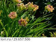 Купить «Лилейник гибридный Дарла Анита (лат. Hemerocallis Darla Anita)», эксклюзивное фото № 29657506, снято 23 июля 2015 г. (c) lana1501 / Фотобанк Лори