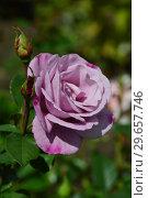 Купить «Чайно-гибридная роза Муди Блю (Rosa Moody Blue), Fryer's Roses, Великобритания 2008», эксклюзивное фото № 29657746, снято 23 июля 2015 г. (c) lana1501 / Фотобанк Лори