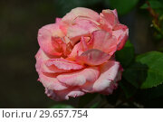 Роза чайно-гибридная Вом Вишес (Rosa Warm Wishes), Fryer's Roses, Англия 1994. Стоковое фото, фотограф lana1501 / Фотобанк Лори