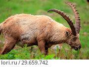 Купить «Ibex (Capra ibex) exemplary male in the National park Gran Paradiso. Italy.», фото № 29659742, снято 8 июня 2018 г. (c) age Fotostock / Фотобанк Лори