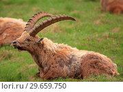 Купить «Ibex (Capra ibex) exemplary male in the National park Gran Paradiso. Italy.», фото № 29659750, снято 8 июня 2018 г. (c) age Fotostock / Фотобанк Лори