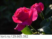 Купить «Роза чайно-гибридная Олл Май Лавин (Олл Май Лавинг, FRYrisky), (лат. All My Loving). Fryer's Roses (Розы Фраера), Великобритания 2011», эксклюзивное фото № 29665382, снято 24 июля 2015 г. (c) lana1501 / Фотобанк Лори