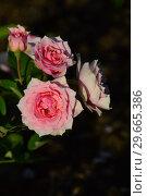 Купить «Роза кустарниковая Ля Роз Бордо (La Rose Bordeaux (MASrobo). Guillot Massad, Франция 2000», эксклюзивное фото № 29665386, снято 24 июля 2015 г. (c) lana1501 / Фотобанк Лори