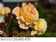 Купить «Роза чайно-гибридная Кэндллайт (лат. Candlelight). Rosen Tantau (Розы Тантау), Германия 2001», эксклюзивное фото № 29665470, снято 21 июля 2015 г. (c) lana1501 / Фотобанк Лори