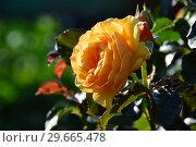 Купить «Роза флорибунда Амбер Куин (Амбер Квин, Янтарная королева) (лат. Rosa Amber Queen). Harkness Roses, Великобритания 1983», эксклюзивное фото № 29665478, снято 21 июля 2015 г. (c) lana1501 / Фотобанк Лори