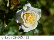 Купить «Роза флорибунда Даймонд Дэйз Форэвэ (Даймонд Дейз Фореве), (лат. Rosa Diamond Days Forever). Fryer's Roses, Великобритания 2006», эксклюзивное фото № 29665482, снято 21 июля 2015 г. (c) lana1501 / Фотобанк Лори