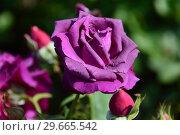 Купить «Чайно-гибридная роза Парфюм де Рэв (Парфюм дэ Рев) (Parfum de Reve). Laperriere (Лаперье). Франция 2011», эксклюзивное фото № 29665542, снято 27 июля 2015 г. (c) lana1501 / Фотобанк Лори