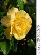 Купить «Цветок чайно-гибридной розы Кип Смайлинг (Rosa Keep Smiling), Fryer's Roses, England, 2004», эксклюзивное фото № 29665570, снято 24 июля 2015 г. (c) lana1501 / Фотобанк Лори