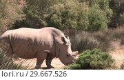 Купить «Rhino in the Wild», видеоролик № 29667526, снято 25 августа 2019 г. (c) Wavebreak Media / Фотобанк Лори