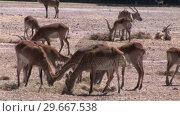 Купить «Herd of Impalas», видеоролик № 29667538, снято 20 июня 2019 г. (c) Wavebreak Media / Фотобанк Лори