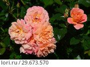 Купить «Роза полиантовая Бордюр Априкот (Бордюр Абрикот) (лат. Rosa Bordure Apricot), Delbard France, 2001», эксклюзивное фото № 29673570, снято 23 июля 2015 г. (c) lana1501 / Фотобанк Лори