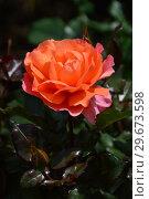 Купить «Роза чайно-гибридная Джекс Виш (лат. Jack's Wish (Kirsil), C&K Jones. Gordon Kirkham, Великобритания, 2003», эксклюзивное фото № 29673598, снято 23 июля 2015 г. (c) lana1501 / Фотобанк Лори