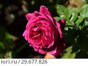 Купить «Роза чайно-гибридная Шарлотта Рэмплинг (лат. Charlotte Rampling), Meilland, Франция1988», эксклюзивное фото № 29677826, снято 23 июля 2015 г. (c) lana1501 / Фотобанк Лори