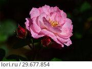 Купить «Роза кустарниковая Флёр ан Сэн (Флёрс ан Сэн) (лат. Rosa Fleurs en Seine), Dominique Massad, Франция 2011», эксклюзивное фото № 29677854, снято 23 июля 2015 г. (c) lana1501 / Фотобанк Лори
