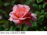 Купить «Роза кустарниковая Лорэн Каброль (Лоран Каброль) (лат. Rosa Laurent Cabrol). Guillot Massada, Франция 2009», эксклюзивное фото № 29677886, снято 23 июля 2015 г. (c) lana1501 / Фотобанк Лори