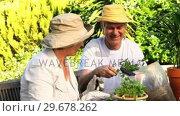 Купить «Mature couple potting plants», видеоролик № 29678262, снято 5 ноября 2010 г. (c) Wavebreak Media / Фотобанк Лори