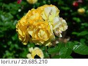 Купить «Роза флорибунда Абсолютлей Фабулос (Абсолютли Фабулос) (Absolutly Fabulous), Harkness Roses (Розы Харкнесса), Великобритания 2004», эксклюзивное фото № 29685210, снято 1 июля 2015 г. (c) lana1501 / Фотобанк Лори