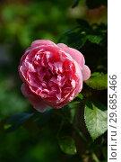 Купить «Роза флорибунда Комтесса де Сегюр (Комтесса дю Сегюр) (Графиня де Сегюр) (Comtesse De Segurt), Delbard Франция, 1994», эксклюзивное фото № 29685466, снято 27 июля 2015 г. (c) lana1501 / Фотобанк Лори