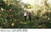 Купить «Couple walking through apple orchard», видеоролик № 29695898, снято 12 сентября 2016 г. (c) Wavebreak Media / Фотобанк Лори