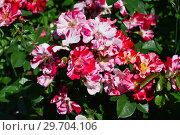 Купить «Роза флорибунда Крэйзи фо Ю (Fourth of July), (лат. Rose Crazy for You). Harkness Roses, Великобритания 2009», эксклюзивное фото № 29704106, снято 1 июля 2015 г. (c) lana1501 / Фотобанк Лори