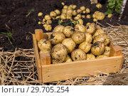 Купить «Картофель нового урожая в деревянном ящике», фото № 29705254, снято 21 августа 2018 г. (c) Ольга Сейфутдинова / Фотобанк Лори