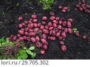 Купить «Картофель нового урожая», фото № 29705302, снято 22 августа 2018 г. (c) Ольга Сейфутдинова / Фотобанк Лори