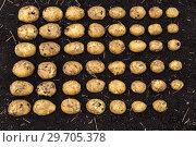 Купить «Картофель нового урожая выложен на земле по размеру клубня», фото № 29705378, снято 22 августа 2018 г. (c) Ольга Сейфутдинова / Фотобанк Лори