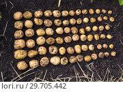 Купить «Картофель нового урожая выложен на земле по размеру клубня», фото № 29705442, снято 22 августа 2018 г. (c) Ольга Сейфутдинова / Фотобанк Лори