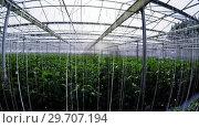Купить «Row of green plants in greenhouse 4k», видеоролик № 29707194, снято 11 апреля 2017 г. (c) Wavebreak Media / Фотобанк Лори