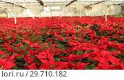 Купить «Poinsettia. Red plantation of Christmas star flowers cultivated in greenhouse», видеоролик № 29710182, снято 12 декабря 2018 г. (c) Яков Филимонов / Фотобанк Лори
